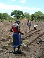 Pigeon pea intercropping by villagers in N'hambita