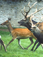 hybrid female, red stag, sika stag