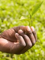 Tea grown on a Fairtrade farm in Uganda