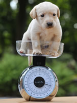 Puppy on set of scales