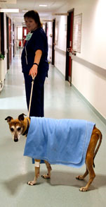 A brown greyhound being led down a hallway, with a blue blanket over its back