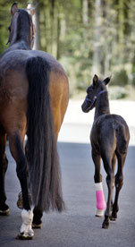 A foal and horse walking together and seen from behind. The foal has a pink cast on its front left leg