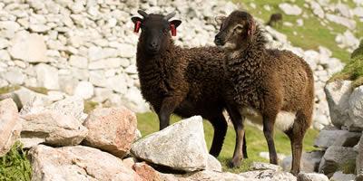 Soay sheep twins