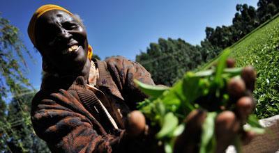 Woman picking fair trade tea