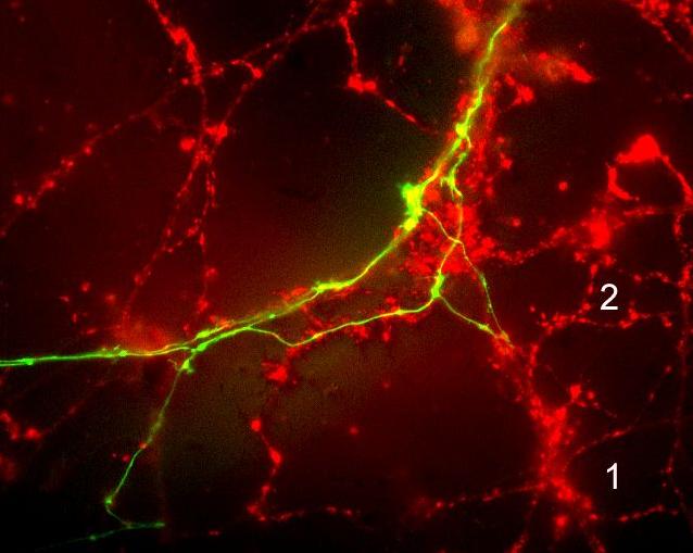 Imaging of synaptic vesicle turnover using FM4-64