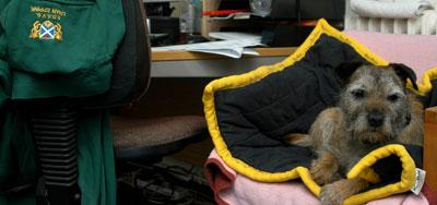 A small brown-grey dog with black ears relaxing on a black blanket in an office