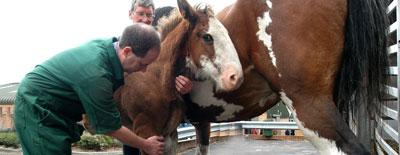 A vet holds the neck and front leg of a foal standing beside a larger horse