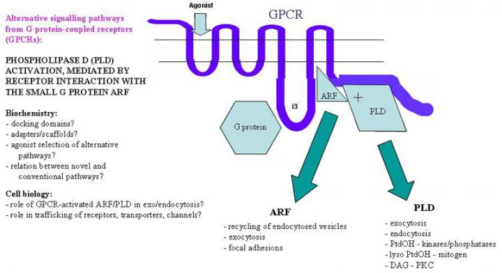 Alternative signalling pathways from G protein-coupled receptors (GPCRs)