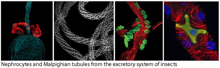 tubules and nephrocytes