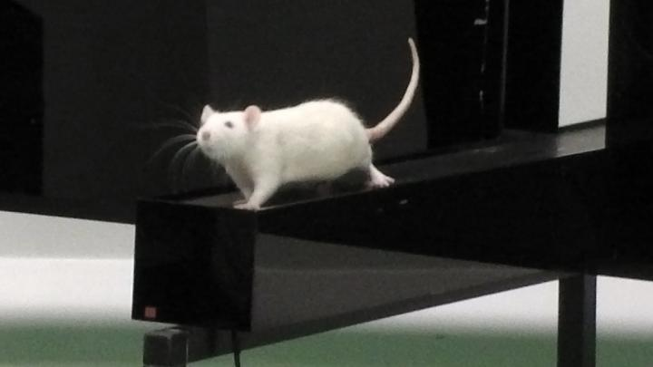 Image of a white rat