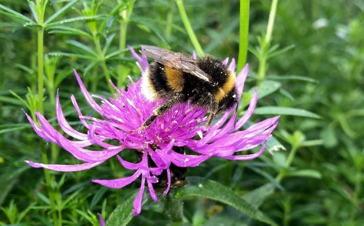 White tailed bumblebee on knapweed - Image Credit: Professor Graham Stone