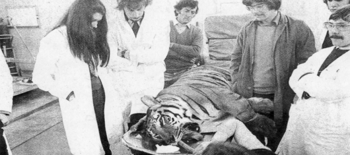 1976 Vet School Tiger Operation