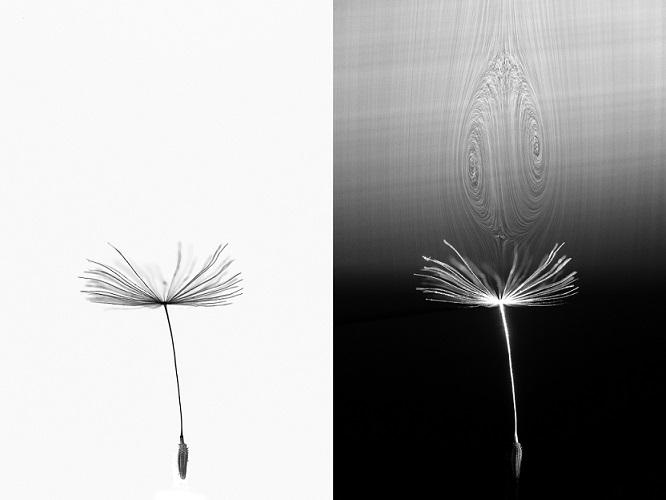A dandelion seed in flight and (right) with the air bubble it generates, visualised in a wind tunnel - credit Cathal Cummins