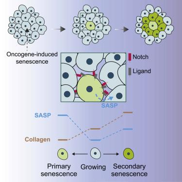 graphical overview of primary and secondary oncogene induced senescence in cells