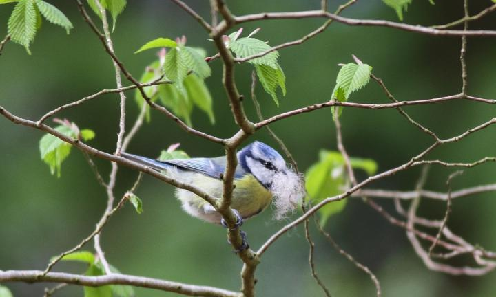 Adult blue tit with nest-building material