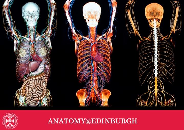 Three different layers of the human body, Anatomage table