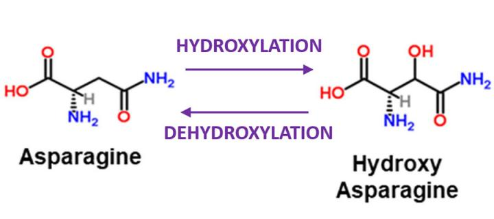 Figure illustrating hydroxylation and dehydroxylation of asparagine
