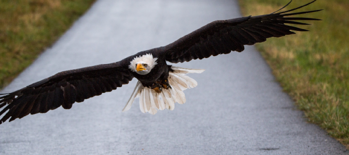 White-tailed bald eagle in flight