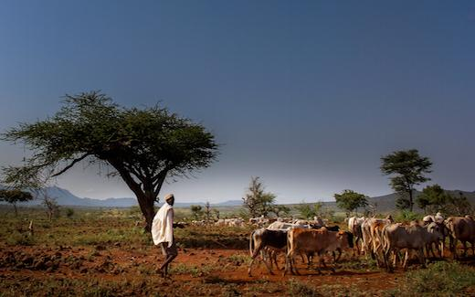 Boran cattle and herdsman, Ethiopia. Photo: C. Hanotte (ILRI)