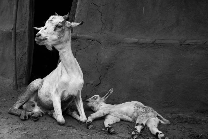 Borana mother goat and kid