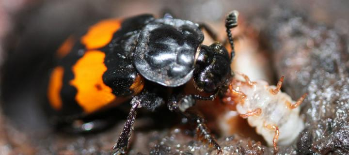 Inbred beetles were more likely to make bad decisions at a cost to themselves and their offspring