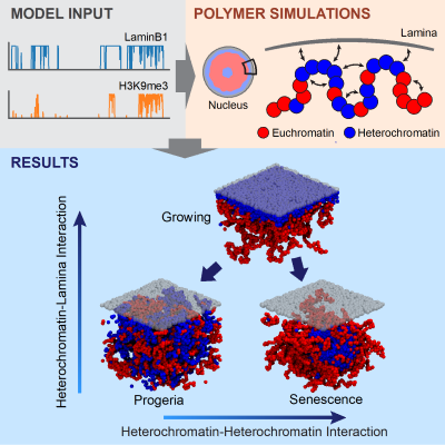 polymer_model_graphical_abstract