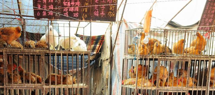Live chicken market in Xining, China