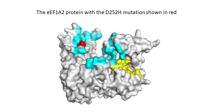 eEF1A2 protein with D252H mutation