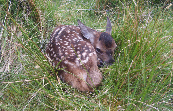 Red deer calf on Rum