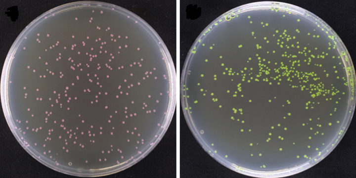 Coloured chromogenic proteins, produced by bacteria, allow users to visually distinguish different assembly levels