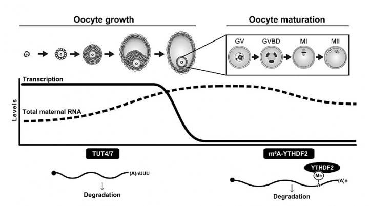 TUT4/7-mediated mRNA uridylation and m6A-YTHD in oocyte growth and maturation