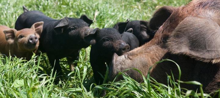 farm Animal pigs