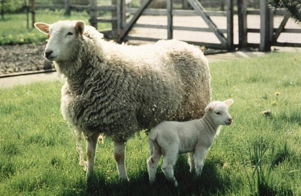 Image of Frosty the lamb with mother in field.