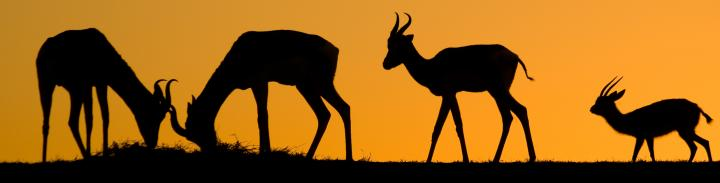 Image of 4 gazelle silhouettes at sunset