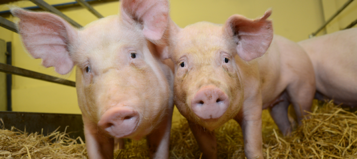 Gene-edited pigs are resistant to billion dollar virus
