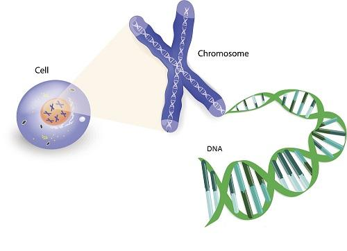 DNA helix wound into chromosome