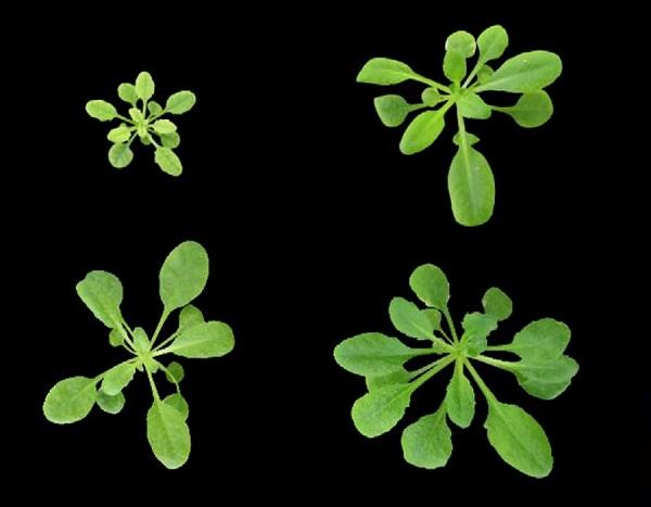 Plants that accumulate different levels of nitric oxide display altered growth