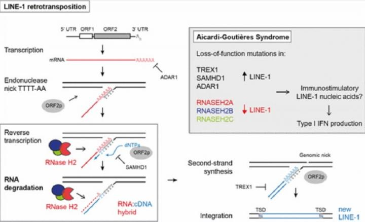 Diagrammatic synposis of RNAseH2 role in LINE1 retrostransposition