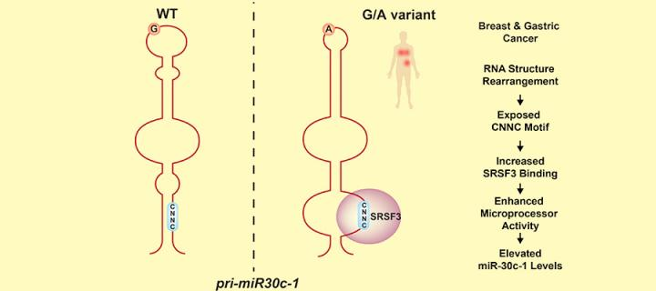 Genetic variation and RNA structure regulate microRNA biogenesis image