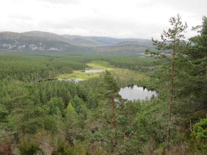Native Caledonian Pinewood at Inshriach, Glen Feshie