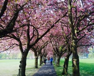 Cherry Blossom in the Meadows. Photo by Harriet Harris