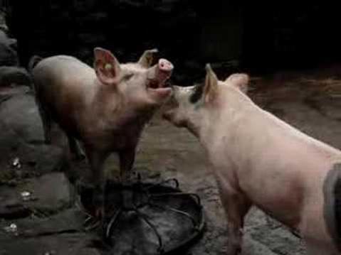 Insights into behaviour could help limit aggression between pigs.