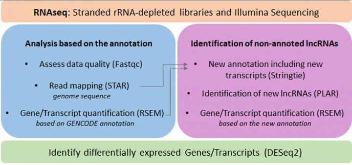 RNA schematic - Stranded rRNA-depleted libraries and Illumina Sequencing