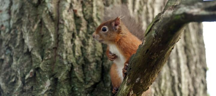 Red squirrel news story