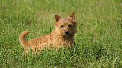 A Norwich terrier in the grass.