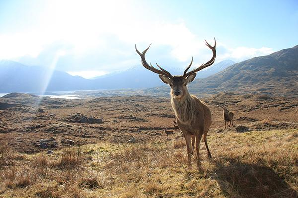 A red deer on a hill.
