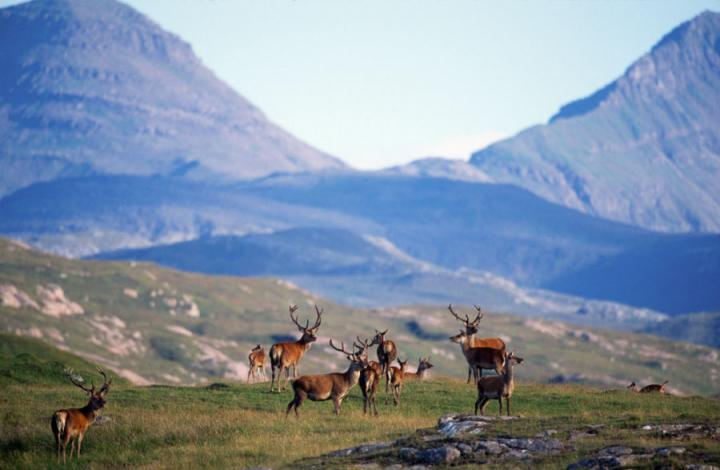 Rum red deer with mountain background