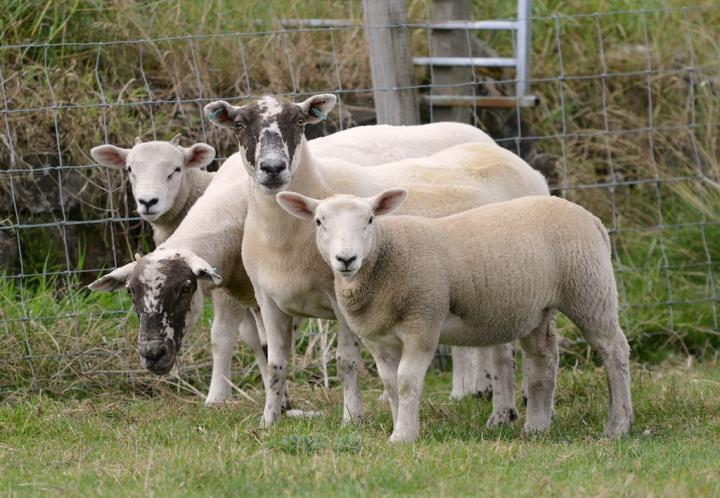 Texel x Scottish Blackface ewes and lambs
