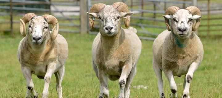 Sheep gene insights