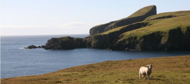 Shetland scenery with sheep